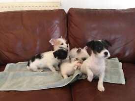 Jack Russel X Yorkshire Terrier Puppies