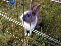 Rex cross Dutch rabbit free to a good home.