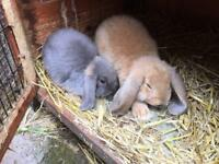 Baby lop eared rabbits