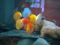 Discus fish direct from Thailand 3 - 3.5 Inch lovely quality fish