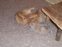 Red Rex baby rabbits for sale £20