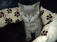 female blue british shorthair kitten
