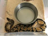 2 royal pythons