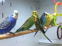 Quality budgies for sale.