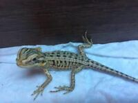 Silkback bearded dragons