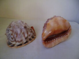2 LARGE CONCH SHELLS