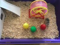 2 Female Roborovski Hamsters with Cage and Exercise Ball