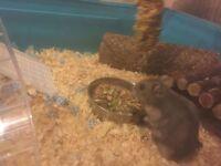2 male dwarf hamsters