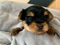 KC Registered Toy Yorkshire Terrier Puppies