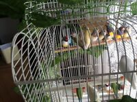 Gouldians finches sale