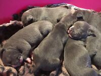 Blue Staffordshire bull terriers puppies forsale