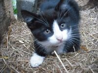 1 gorgeous black and white kitten free to a good home ,ready to go in Ballinderry ,Lisburn area