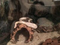 Corn Snake with Large vivarium and environment