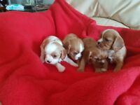 Adorable King Charles Cavalier Puppies for sale