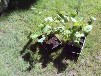 Runner beans - 12 plants (2 trays of 6) -- plant now - Dorking
