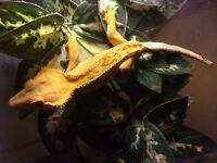Crested gecko with setup