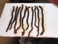 Frozen Black Lugworm