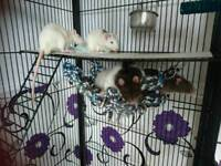 6 Male rats and huge 5ft cage