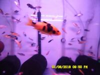 12 to 14 weeks old HIGH GRADE KOI CARP FOR SALE 1 to 2 inches; from £0.75 Each