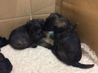 Borderpoo Puppies