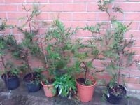 Golden Leylandii conifer trees approx 2.5ft to 3ft high in pots. Well established