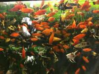 Tropical fish Angelfish/ Danios Zebra/Platy