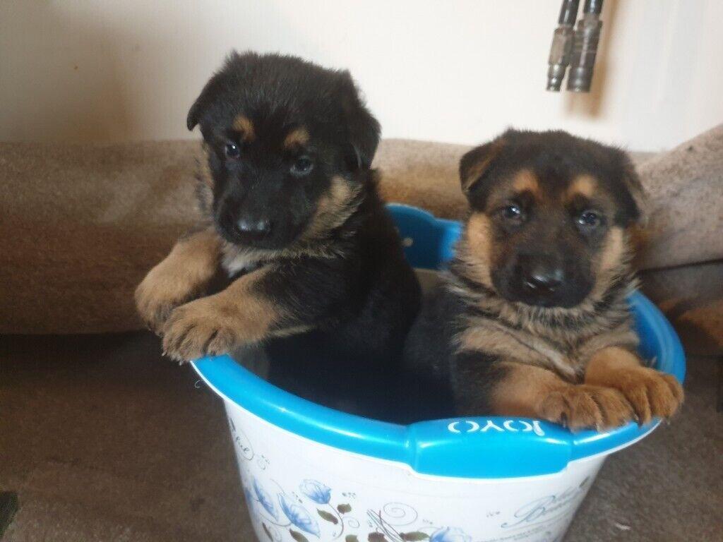 German Shepherd Puppies For Sale In Castleford West Yorkshire Gumtree