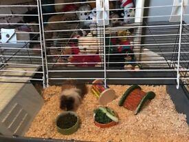 2 female guinea pigs needing new home