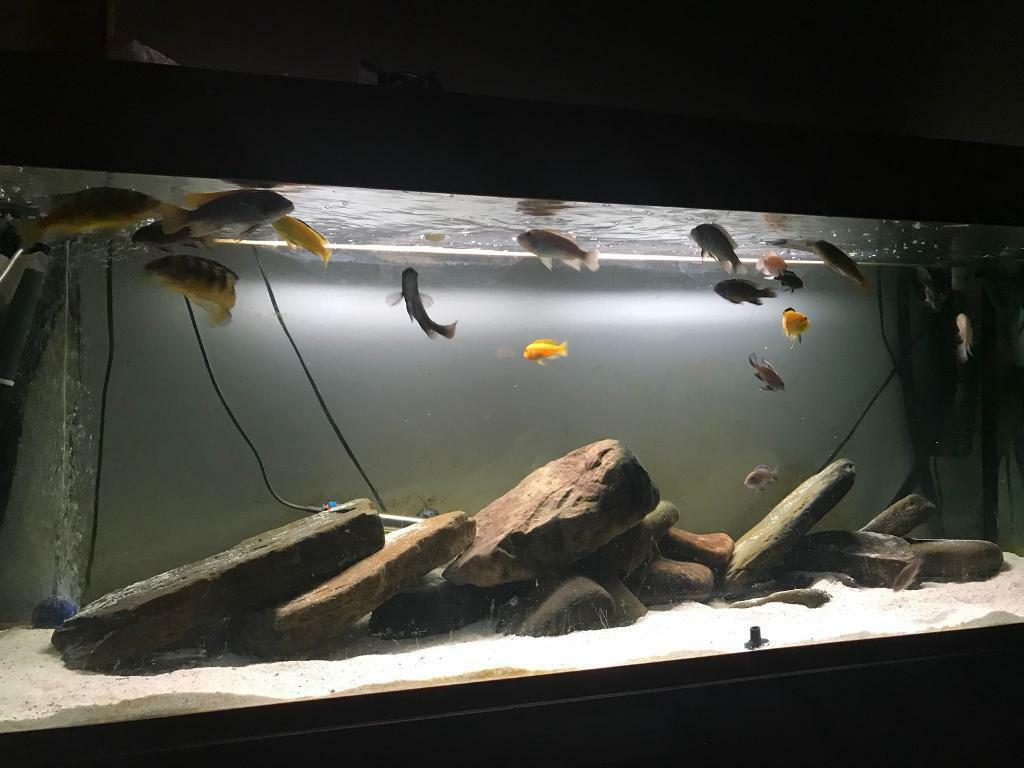 5ft fish tank Malawi set up | in Edinburgh | Gumtree