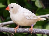 Young coloured Zebra Finches for sale