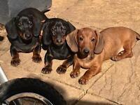 Miniature dachshund puppy
