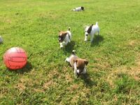 JACK RUSSELL PUPPIES FOR SALE, SMOOTH COATED, SMALL TYPE, EXCELLENT TEMPERMENT, PARENTS CAN BE SEEN