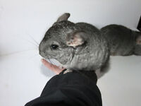 Chinchilla baby boys for sale no cage