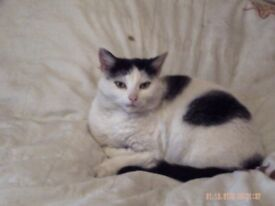 Missing black and white female microchip cat seacroft area