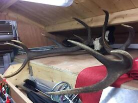 Stag Antlers 11 point