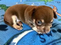 KC reg chocolate chihuahua boy puppies