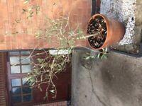 Olive bush/tree in large pot