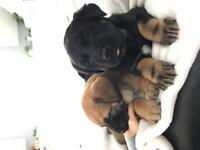 Lab German Shepherd cross puppies