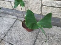 Alocasia Stingray Indoor House Plant Collection Only