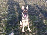 Beautiful Belgian Shepherd only 2 years old, trained and loving great with kids