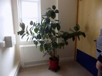rubber plant ideal for large office or house