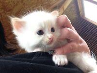 Pedigree Flame point Ragdoll kitten