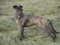 lurcher(dog)