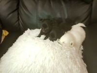 Gorgeous Pomchi Puppies gorgeous little Black girl and boy and gorgeous white cheeky boy