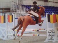 14.2 Arab Connemara Cross Gelding - Superb Pony