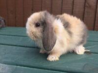 Female baby mini lop rabbits