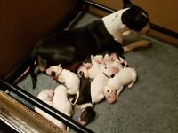 Stunning English Bull Terriers Pups.