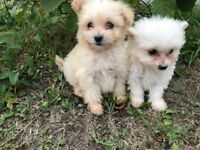 PomaPoo puppies ***