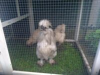 chicken trio silky+ new coop