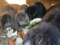 Gorgeous giant baby french lop rabbits for sale